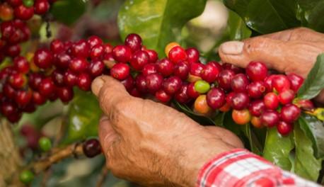 Producción de café de Colombia cae 16% en agosto